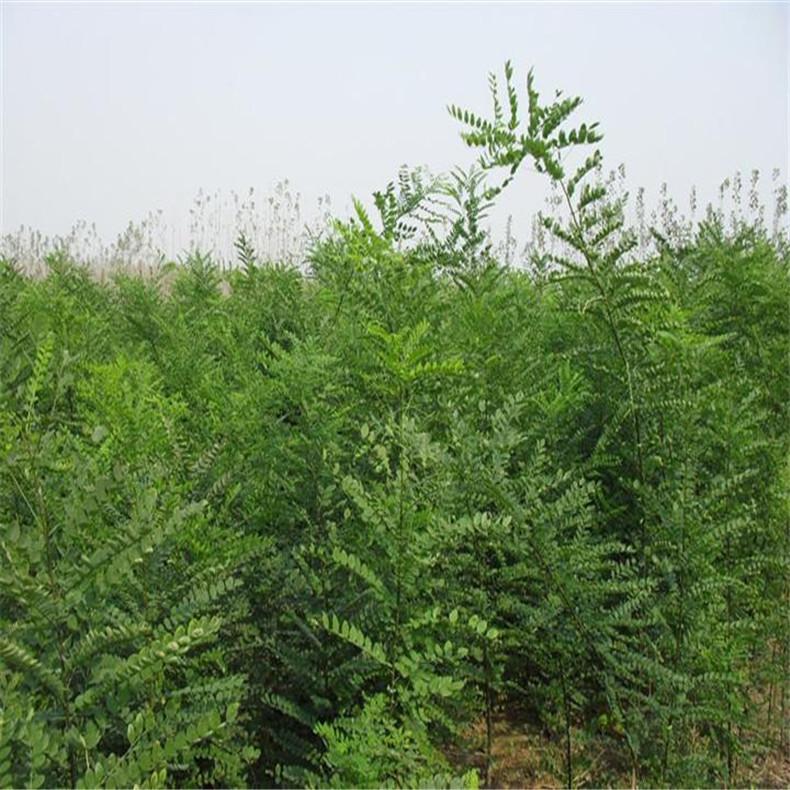 现货出售多规格国槐树 长期批发 供应高成活率国槐树 国槐树