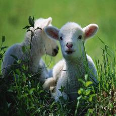 供应农家自养土羊 山羊 纯天然农家土生土长