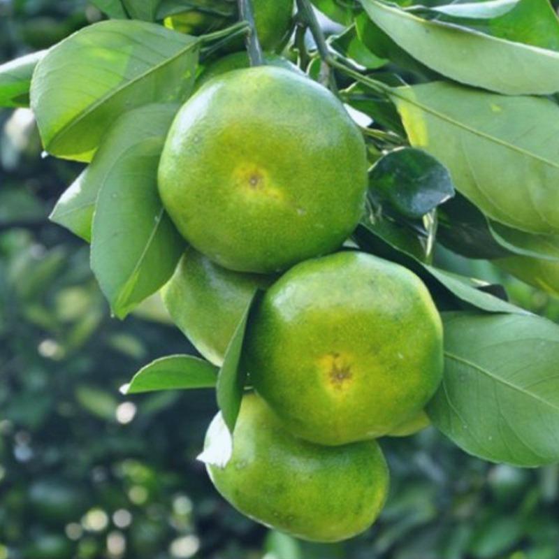 橘子水果东江源蜜桔柑橘青皮桔子新鲜包邮5斤现摘现发酸甜多汁
