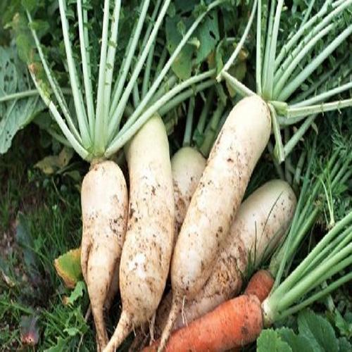 农场供应优质白萝卜 个头大营养价值高