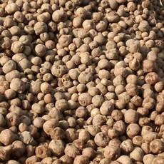 供应  批发魔芋二代种子