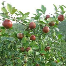 供应生油茶苗批发 大果油茶苗 茶籽供应茶籽树苗