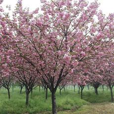 大量供应3-15公分的樱花 树形好 品质优 当年开花 鄢陵永博花卉直销 质量保证