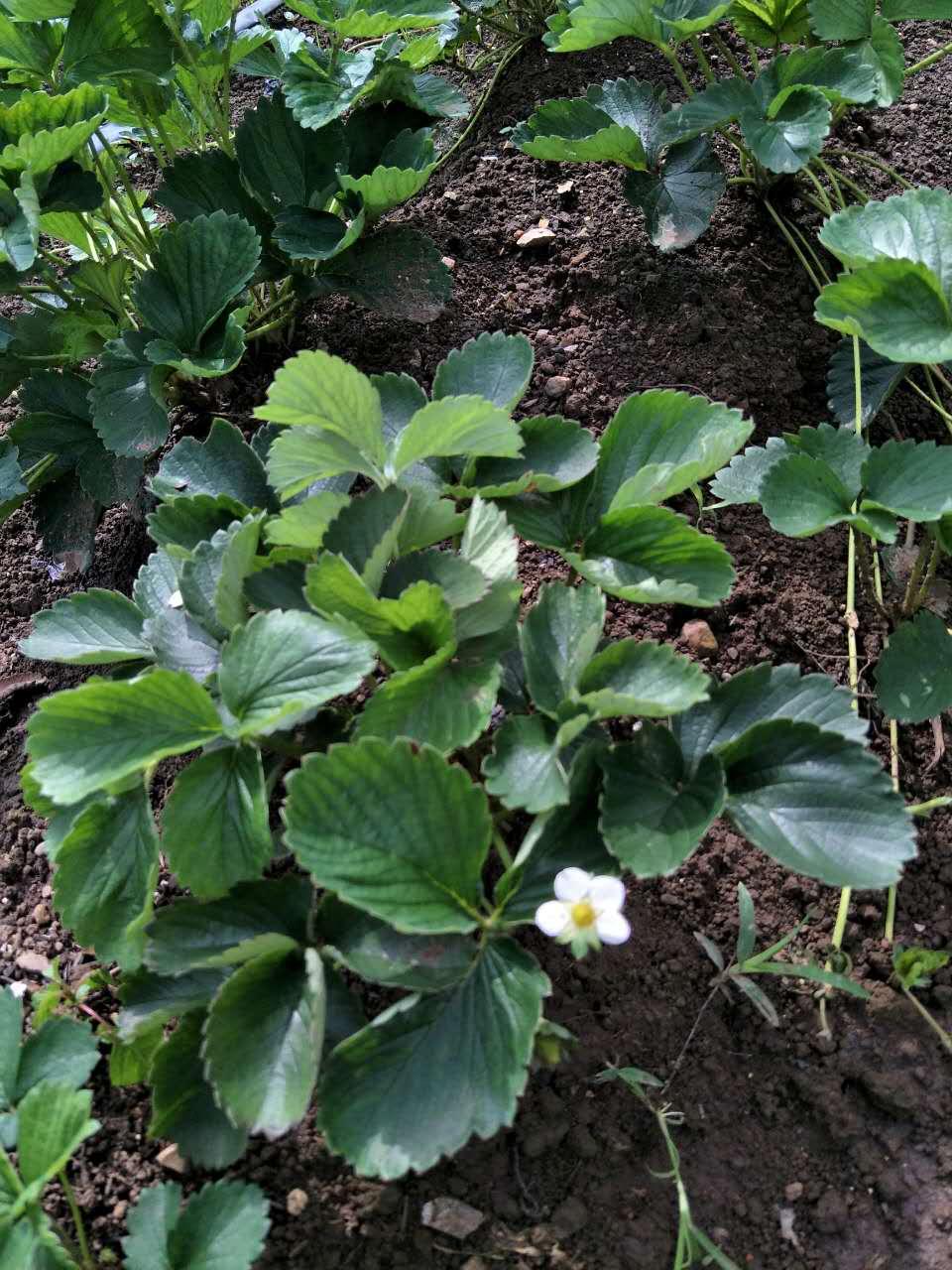 贵州世宇草莓苗