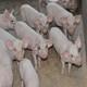 供应 正宗 农家猪 原生态 生猪