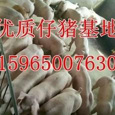 山东仔猪繁育基地大量供应三元 杜洛克等各类优良仔猪