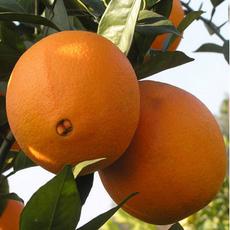 供应江西正宗赣南脐橙    75-95mm特级精品果  10斤顺丰包邮