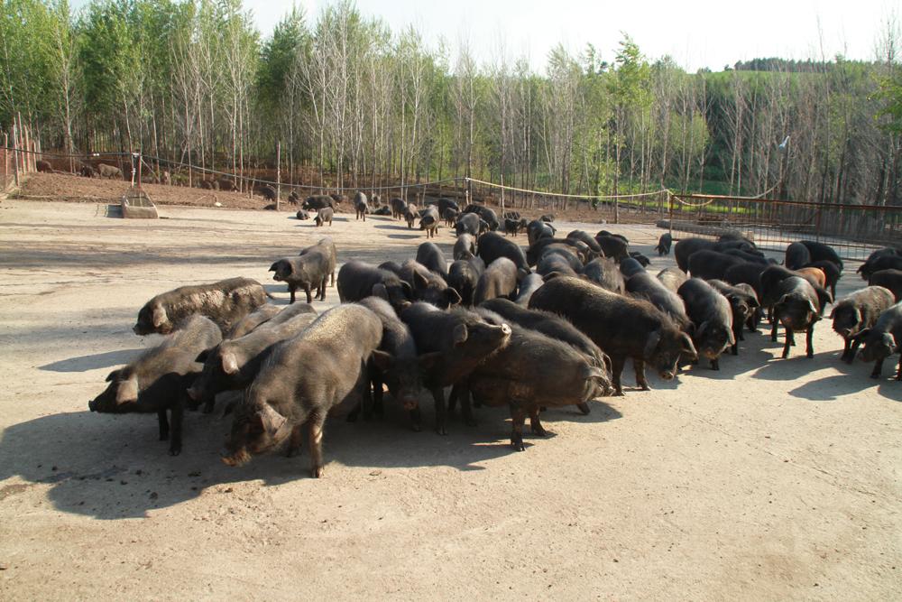 宾县 宁远藏香猪 绿色食品