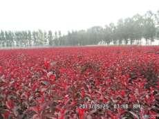 河北丛生紫叶矮樱|红瑞木最新价格