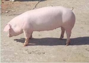 供应二元猪外三元猪