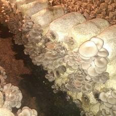 供应食用菌棒菌种菌包平菇食用蘑菇农产品蘑菇 菌袋特供