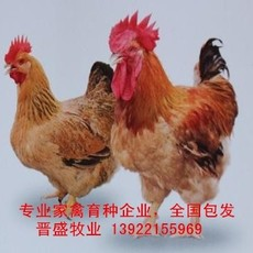 麻黄鸡苗价格行情,种鸡场诚招麻黄鸡苗批发经销商