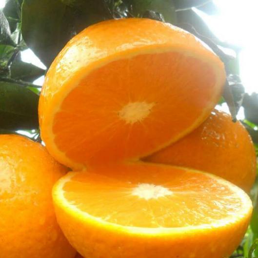 新宁脐橙崀丰脐橙出售