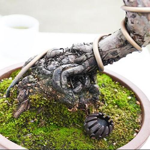 上林苑盆景 真柏盆景盆栽微型掌盆景上紀州真柏日本品種針柏小品