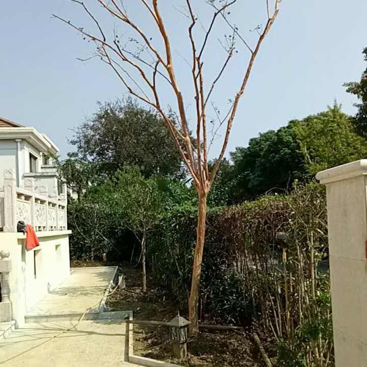 花园绿化设计施工 别墅景观绿化工程 苏州梅园造型树批发 香雪海梅花 庭院景观设计工程