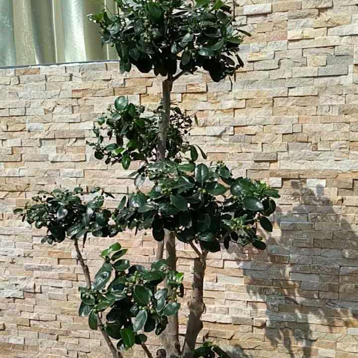 苏州别墅绿化 鸿运果 苏州庭院施工 苏州绿化苗木果树 苏州光福造型树苗圃