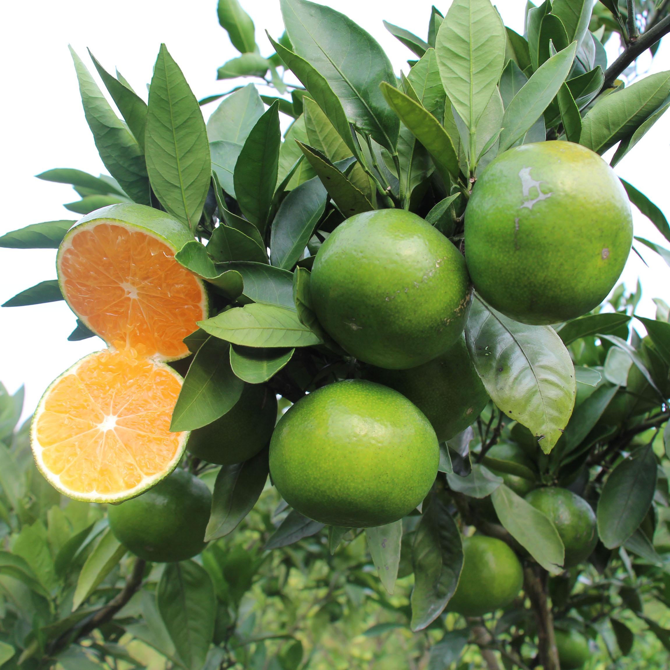 新鲜青皮无籽橘子现摘现发10斤包邮;品种:蜜桔,等级:一级,包装规格:箱