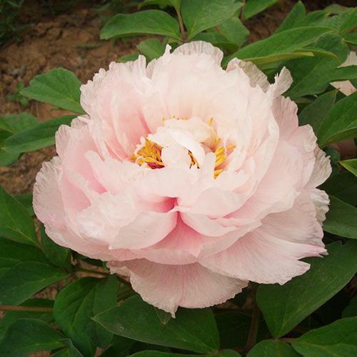 咸池争春 荷花型 花粉白色 花瓣大而平展 花色纯正 货源足 大量批发 价格实惠