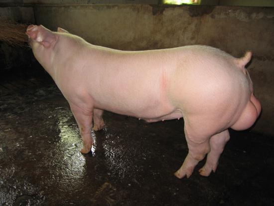 谊发牧业长白公猪