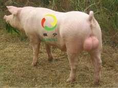 常年供应新丹系长白种猪