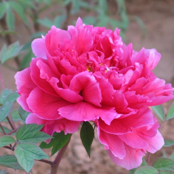 牡丹花苗室內綠植盆栽5年大苗當年開花花卉洛陽牡丹樹苗菏澤花王圖片