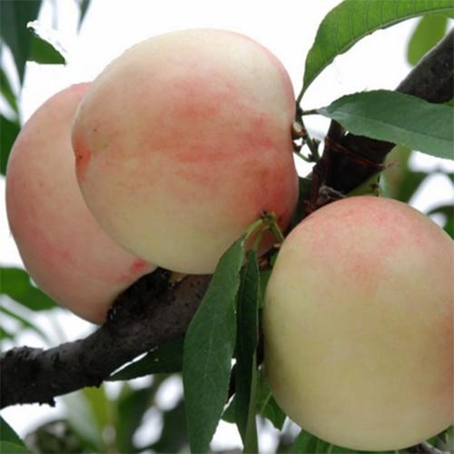 水蜜桃 桃子 口感甜脆香