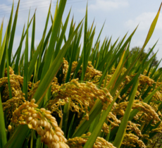 农家非转基因大米 生态彩云红米粳米 大米批发3kg
