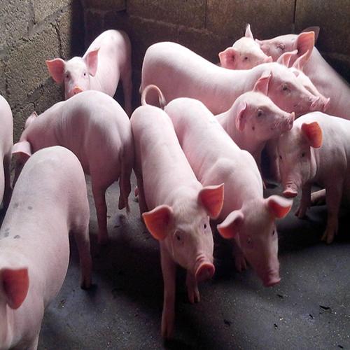 供应 农家自养 优质生猪 正宗农家猪