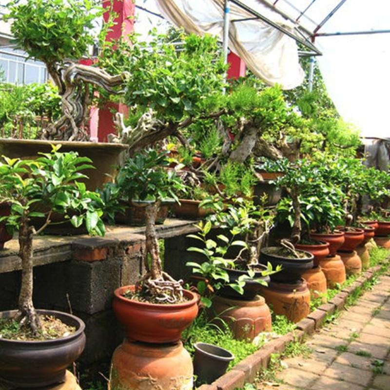 植被园林军民种植桂花树