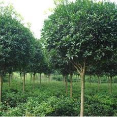 郴州文华花卉苗木有限公司 桂花 行道树 园林植物  乔木 灌木