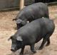 供应农家散养有机黑猪