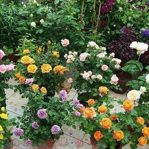 爬藤多花月季苗 小红花大型藤本蔷薇 盆栽微型月季花