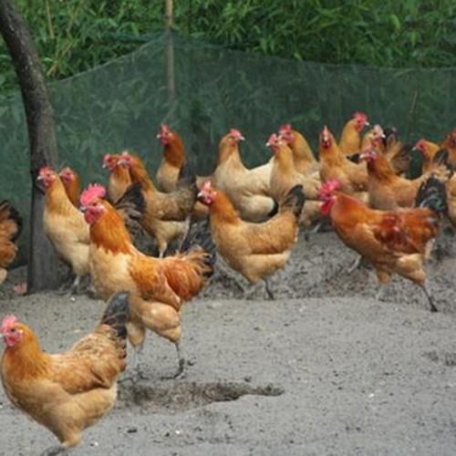 大量供应放养公鸡 野外放养食野草 批发价格优惠