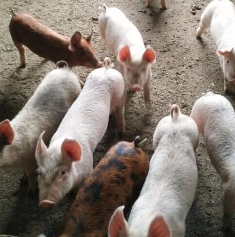 供应 大牧场外三元仔猪