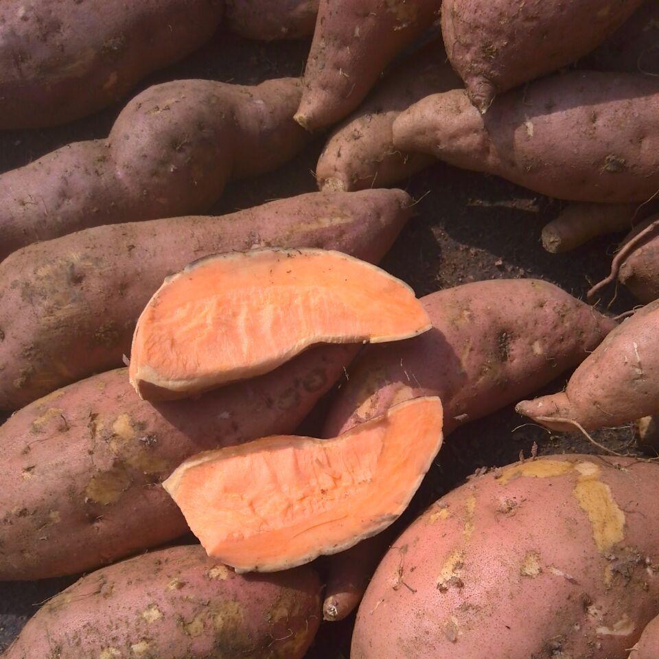 山东红薯产地批发价格
