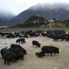 供应 西藏林芝地区藏香猪 黑猪 毛猪