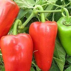 甜柿椒2元每千克