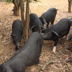 陕北农家 猪圈养殖 黑白猪 卖小猪崽 正宗的农村猪