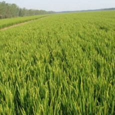 供应优质水稻种子