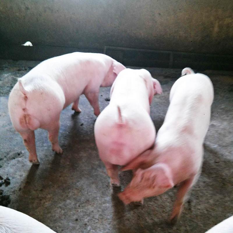 优质种猪 国际化标准示范养殖高品质长白猪