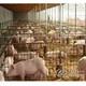 百牧园农家养殖生态猪
