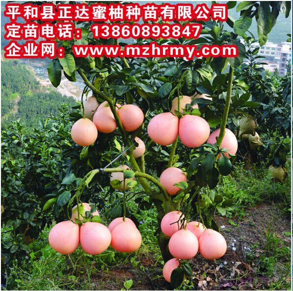 湖南2年可挂果的三红蜜柚苗批发,优质、早熟、高产的三红柚子苗|蜜柚果树苗出售
