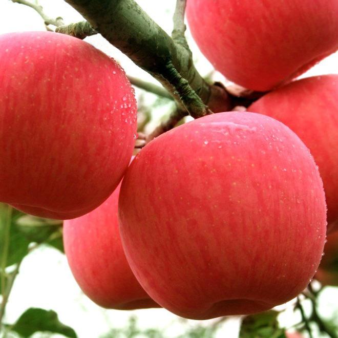 供应新品红富士苹果礼盒24枚