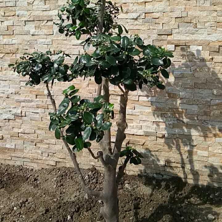 苏州别墅绿化 苏州企业绿化工程 景观绿化造型树批发 苏州绿化苗木
