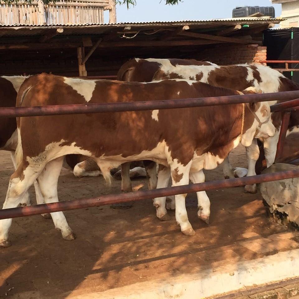养殖肉牛 不同大小不同价格