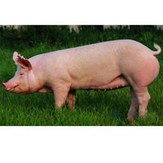 广安区龙凤寨生猪养殖专业合作社:大量生猪销售