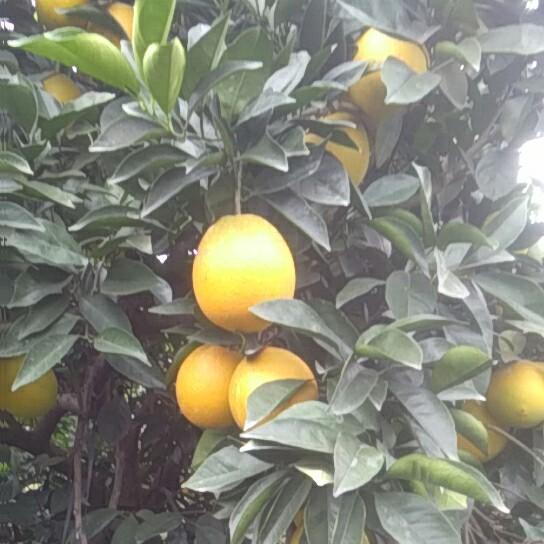 脐橙自家种植优质果品纽荷尔脐橙 果皮美 肉质甜 口感佳
