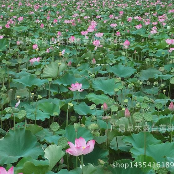 【产地直销】正宗广昌莲子种苗纯种太空莲36号种苗 精品