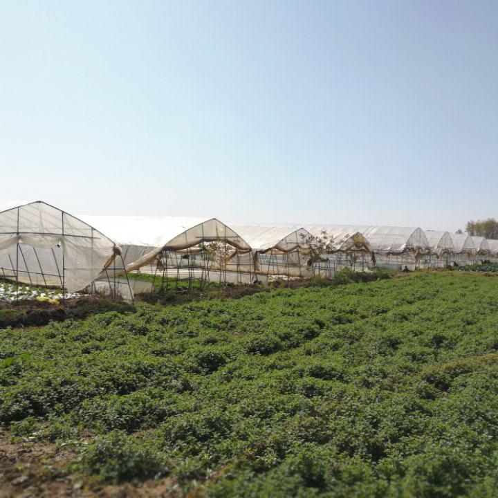 健康绿色蔬菜甘蓝批发 种植基地环境安全