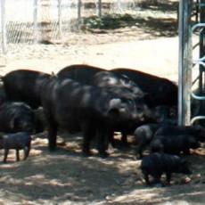 供应 优秀品种玉山黑猪